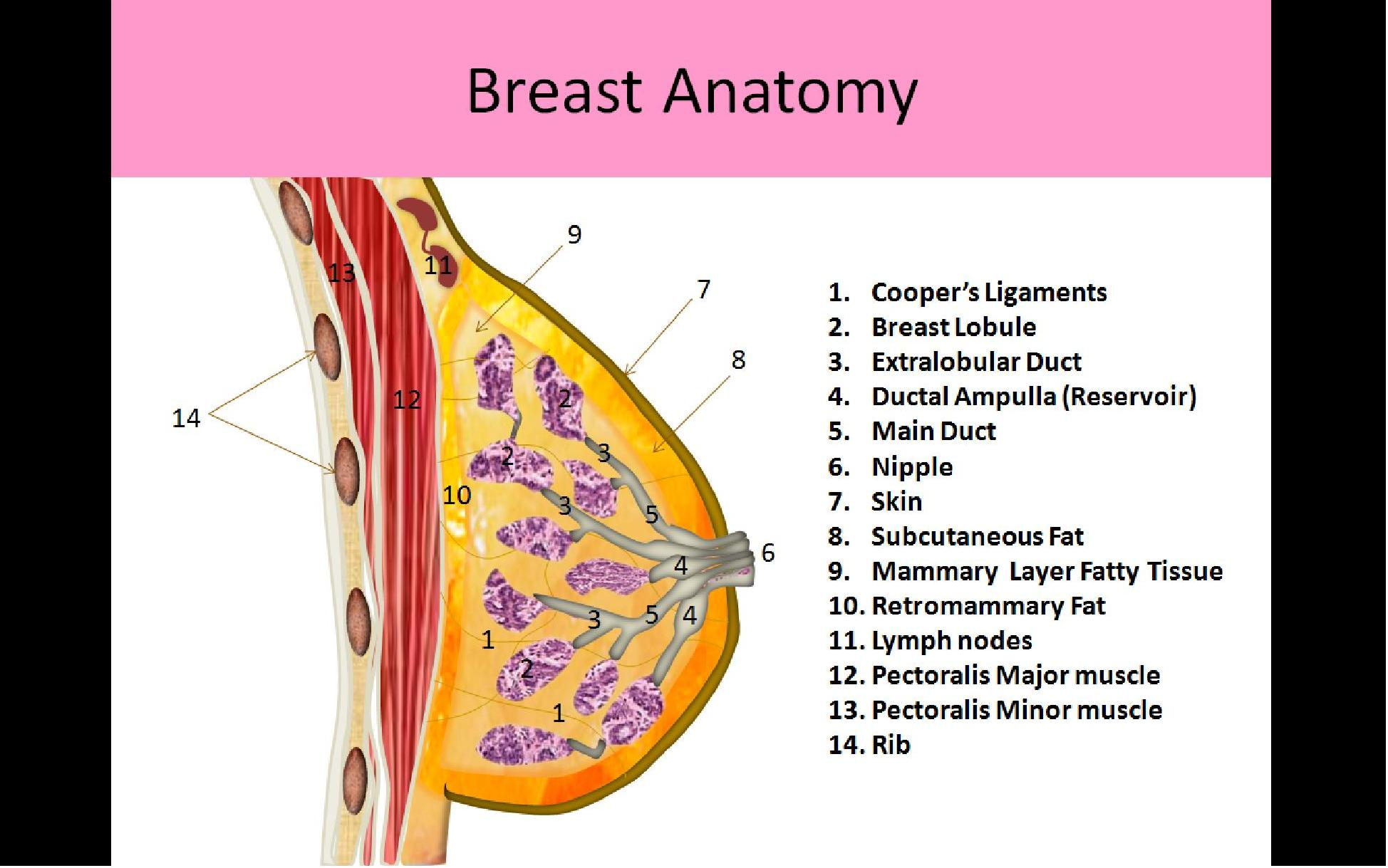 Breast Anatomy And Physiology Ultrasound Registry Review
