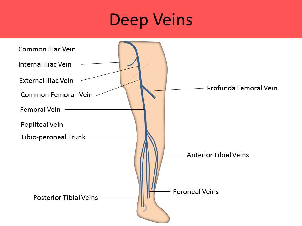 Deep veins of the leg anatomy
