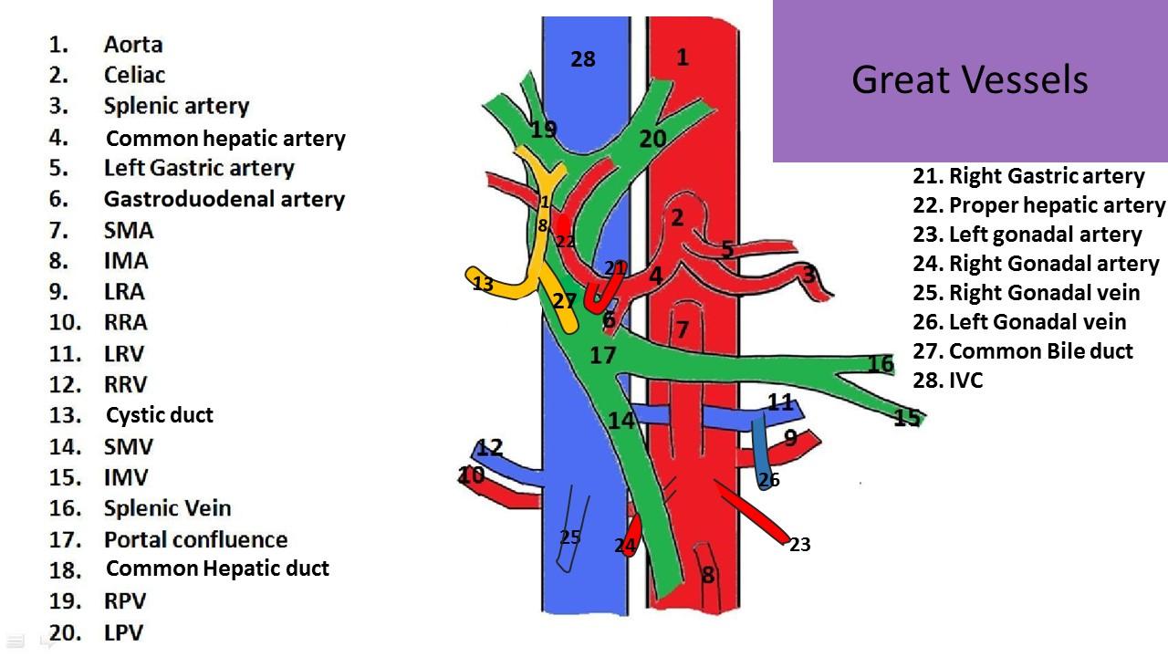 Ultrasound Registry Review - Great Vessel Anatomy